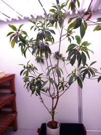 Ohirugi_tree